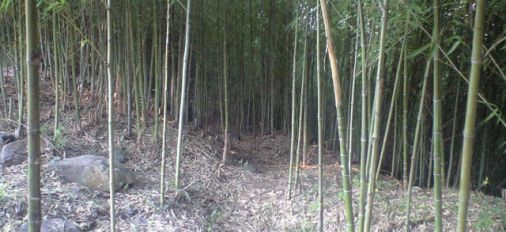 大分市竹中にある五三竹(ごさんちく)の竹林