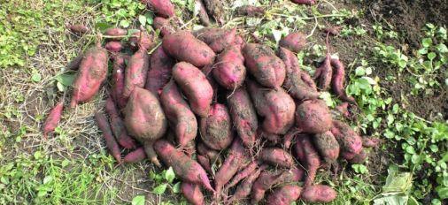 直入竹田にあるお芋畑が豊作です