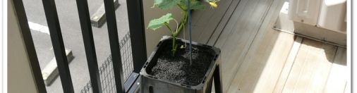いざキュウリをベランダで栽培