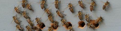 地道に取り組む日本蜜蜂