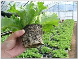 小さなポットでレタス栽培中