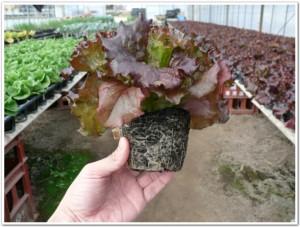 サニーレタスを育苗ポットで栽培中