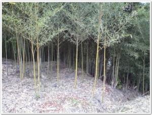 五三竹の整備