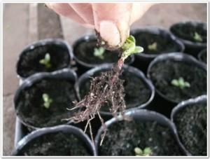 紫草(ムラサキ)の根