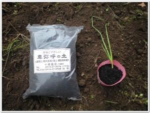 2010年11月のタマネギポット栽培