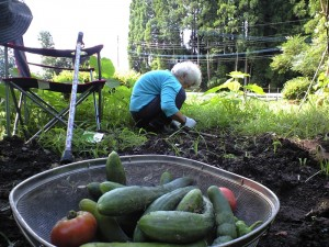 本日の収穫できた野菜