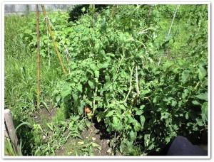 収穫前のトマト
