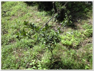 3年前に植えたミカン