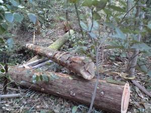 大木を固定する