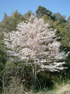 2012年桜咲く