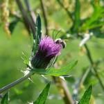 蜜を集めるハチ