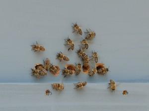 美しい日本蜜蜂たち