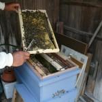 日本蜜蜂をみる