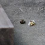 日本蜜蜂のオスとメス