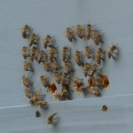 美しい日本の蜂