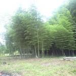 きれいさっぱりした竹林