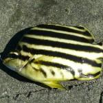 熱帯魚を釣る