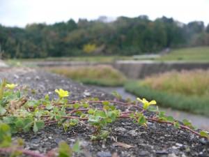 地に咲く野花