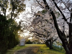 桜に咲く道