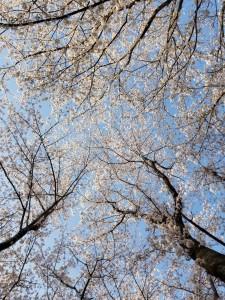 桜と2018
